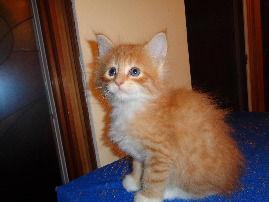 Maine coon kittens for sale in albany ny